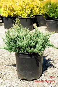 Blue Chip Juniper - Songsco.com - Ocean Nursery