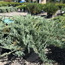 Load image into Gallery viewer, Blue Chip Juniper - Songsco.com - Ocean Nursery