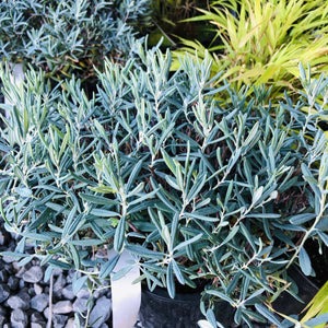 Blue Ice Bog Rosemary - Songsco.com - Ocean Nursery