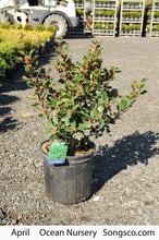 Load image into Gallery viewer, Blue Prince Holly - Songsco.com - Ocean Nursery