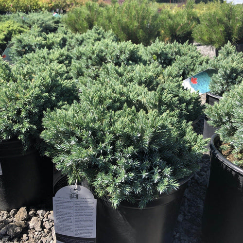 Blue Star Juniper - Songsco.com - Ocean Nursery