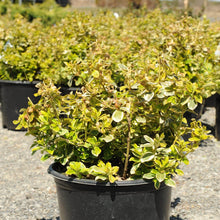 Load image into Gallery viewer, Canadale Gold Euonymus - Songsco.com - Ocean Nursery
