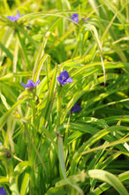 Load image into Gallery viewer, Charlotte's Web Spiderwort - Songsco.com - Ocean Nursery
