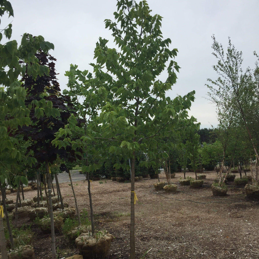 Common Hackberry - Songsco.com - Ocean Nursery