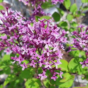 Common Lilac - Songsco.com - Ocean Nursery