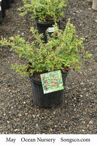 Coral Beauty Cotoneaster - Songsco.com - Ocean Nursery