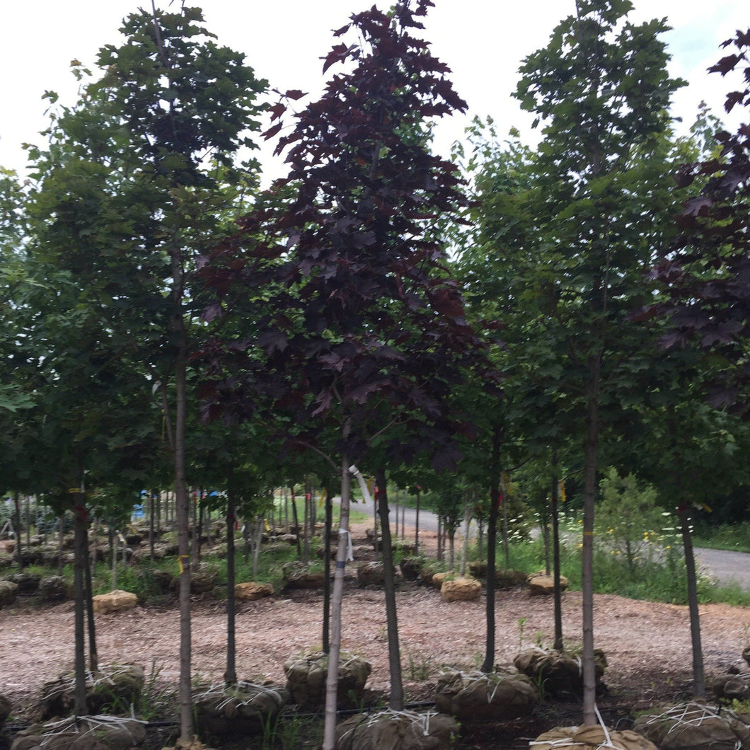 Crimson King Maple - Songsco.com - Ocean Nursery