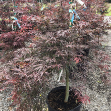 Load image into Gallery viewer, Crimson Queen Japanese Maple - Songsco.com - Ocean Nursery