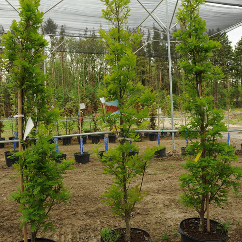Crimson Spire Oak - Songsco.com - Ocean Nursery