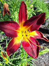 Load image into Gallery viewer, Daylily,Ruby Spider - Songsco.com - Ocean Nursery
