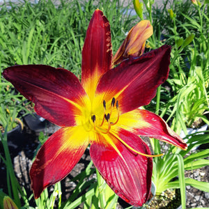 Daylily,Ruby Spider - Songsco.com - Ocean Nursery