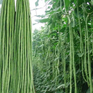 Long Green Bean长豆角#V058 - Songsco.com - Ocean Nursery