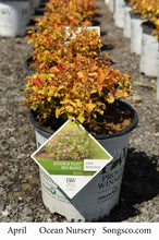 Load image into Gallery viewer, Double Play Big Bang Spirea - Songsco.com - Ocean Nursery