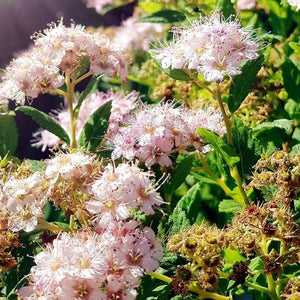 Double Play Big Bang Spirea - Songsco.com - Ocean Nursery
