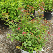 Load image into Gallery viewer, Double Play Doozie Spirea - Songsco.com - Ocean Nursery