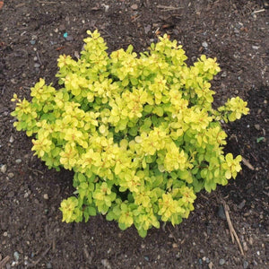 Dwarf Golden Barberry - Songsco.com - Ocean Nursery
