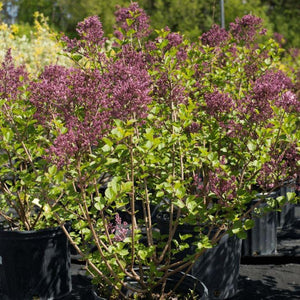 Dwarf Korean Lilac - Songsco.com - Ocean Nursery
