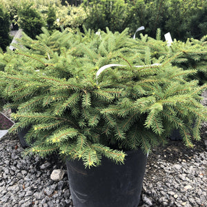 Birds Nest Spruce - Songsco.com - Ocean Nursery