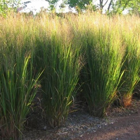 Switch Grass, Northwind - Songsco.com - Ocean Nursery