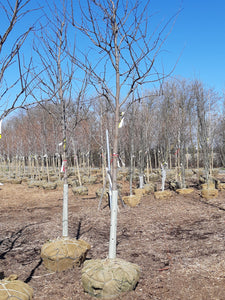 Eastern Redbud - Songsco.com - Ocean Nursery