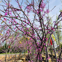 Load image into Gallery viewer, Eastern Redbud - Songsco.com - Ocean Nursery