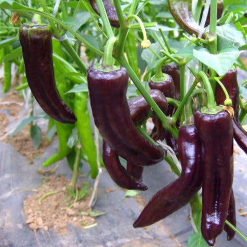 Purple Chili紫尖椒#V074 - Songsco.com - Ocean Nursery