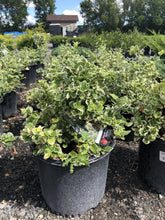 Load image into Gallery viewer, Emerald Gaiety Euonymus - Songsco.com - Ocean Nursery