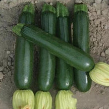 Load image into Gallery viewer, Zucchini墨绿西葫芦#V098 - Songsco.com - Ocean Nursery