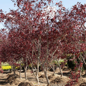 Fireglow Japanese Maple - Songsco.com - Ocean Nursery