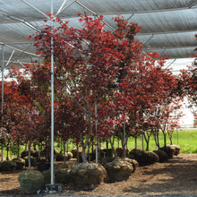 Load image into Gallery viewer, Fireglow Japanese Maple - Songsco.com - Ocean Nursery