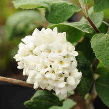 Load image into Gallery viewer, Fragrant Snowball Viburnum - Songsco.com - Ocean Nursery
