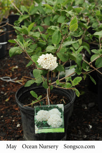 Fragrant Snowball Viburnum - Songsco.com - Ocean Nursery