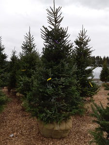 Fraser Fir - Songsco.com - Ocean Nursery