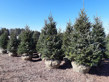 Load image into Gallery viewer, Fraser Fir - Songsco.com - Ocean Nursery