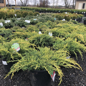 Gold Star Juniper - Songsco.com - Ocean Nursery