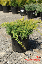 Load image into Gallery viewer, Gold Star Juniper - Songsco.com - Ocean Nursery