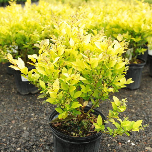 Golden Privet - Songsco.com - Ocean Nursery