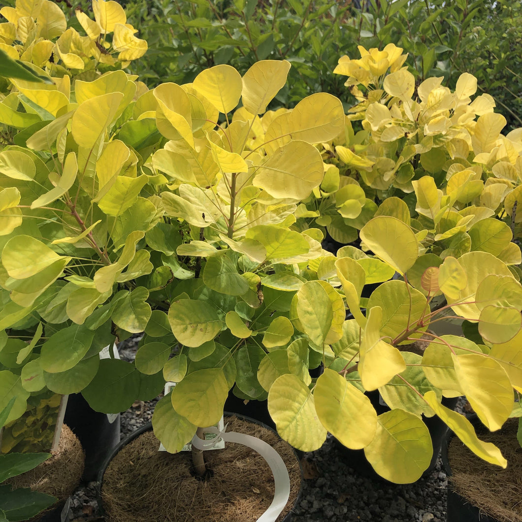 Golden Spirit Smoke Bush - Songsco.com - Ocean Nursery
