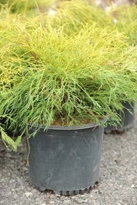 Golden Threadleaf Falsecypress - Songsco.com - Ocean Nursery