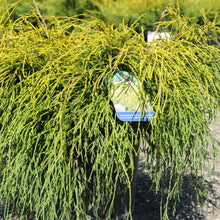 Load image into Gallery viewer, Golden Threadleaf Falsecypress - Songsco.com - Ocean Nursery