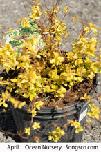 Load image into Gallery viewer, Goldmound Spirea - Songsco.com - Ocean Nursery