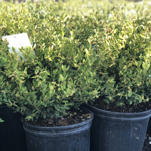 Green Gem Boxwood - Songsco.com - Ocean Nursery
