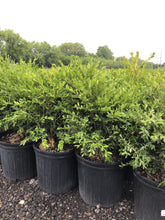 Load image into Gallery viewer, Green Gem Boxwood - Songsco.com - Ocean Nursery