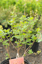 Load image into Gallery viewer, Grow Low Fragrant Sumac - Songsco.com - Ocean Nursery