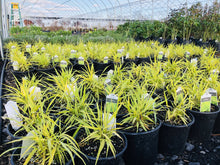 Load image into Gallery viewer, Hakone Grass, All Gold - Songsco.com - Ocean Nursery