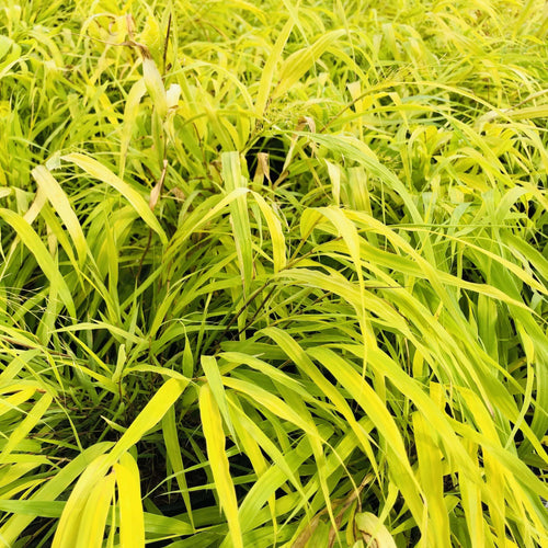 Hakone Grass, All Gold - Songsco.com - Ocean Nursery