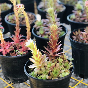 Hen and Chicks,Black - Songsco.com - Ocean Nursery