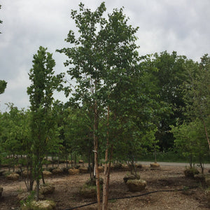Heritage Birch - Songsco.com - Ocean Nursery