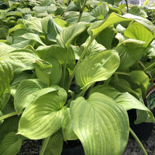 Load image into Gallery viewer, Hosta,Guacamole - Songsco.com - Ocean Nursery
