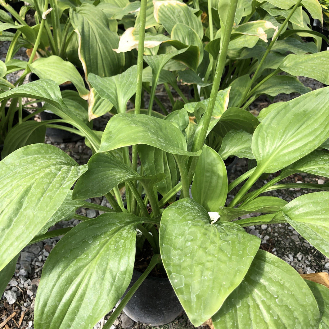 Hosta, Royal Standard - Songsco.com - Ocean Nursery